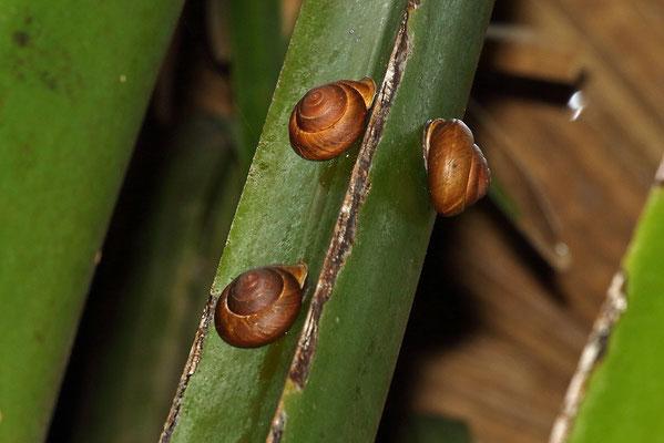 Praslin Palm Snail (Stylodonta studeriana)