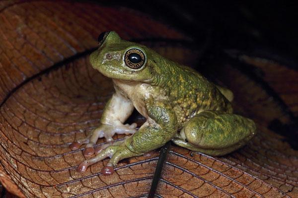 Hartweg's Spikethumb Frog (Plectrohyla hartwegi)