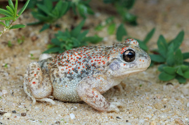 Iberian Midwife Toad (Alytes cisternasii) with many reddish spots.