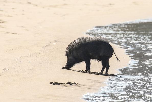 Punky Wild Boar (Sus scrofa vittatus) foraging for crabs along the shore. © Jasper Boldingh