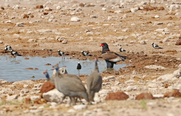 Bateleur (Terathopius ecaudatus) surrounded by Blacksmith Lapwings and Helmeted Guineafowl.
