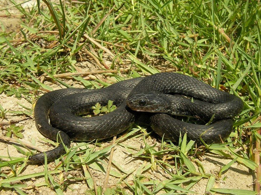 Dice Snake (Natrix tessellata), melanistic individual, Crete, Greece, August 2012