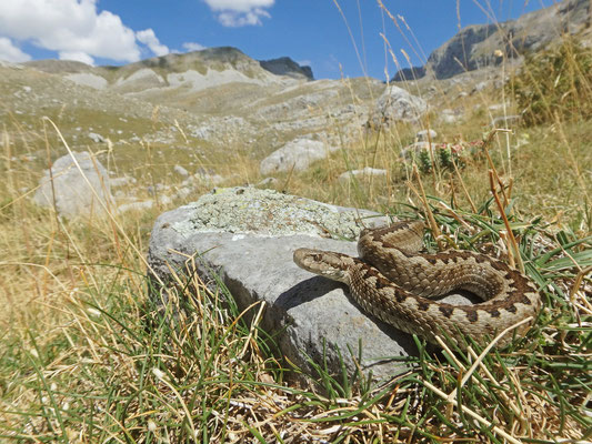 Greek Meadow Viper (Vipera graeca), Pindos Mountains, Greece, July 2017
