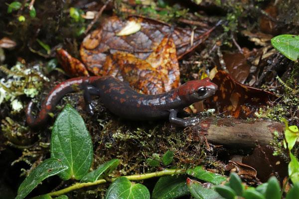 Red-spotted Webfoot Salamander (Bolitoglossa compacta)