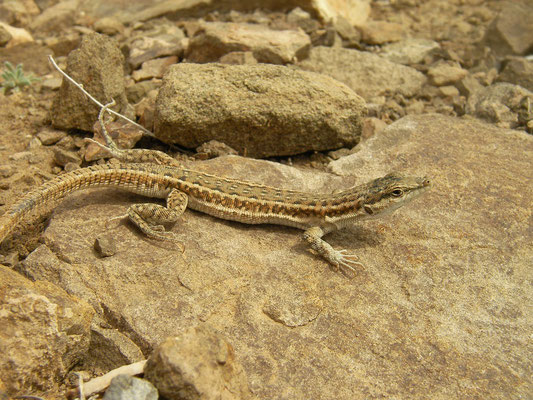 Persian Long-tailed Lizard (Mesalina watsonana)