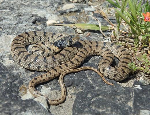 Algerian Whip Snake (Hemorrhois algirus) juvenile