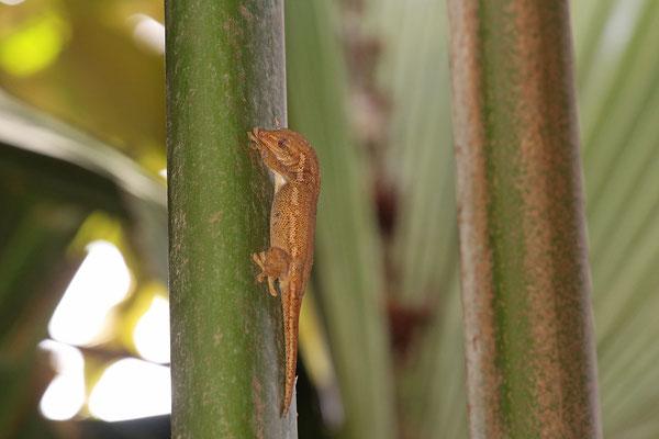 Bronze Gecko (Ailuronyx seychellensis)