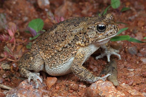 Guttural Toad (Sclerophrys gutturalis)