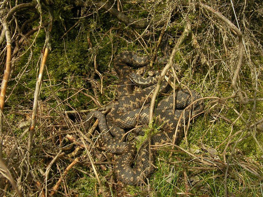 Two male Adders (Vipera berus)
