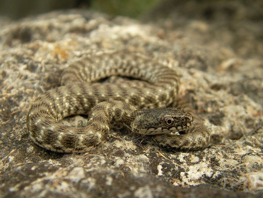 Dice Snake (Natrix tessellata), Peloponnese, Greece, October 2012