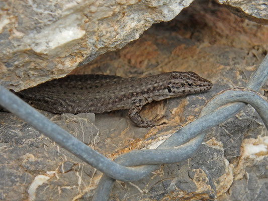 Andalusian Wall Lizard (Podarcis vaucheri)