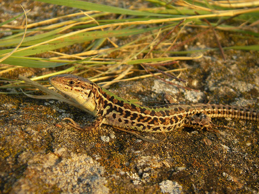 Balkan Wall Lizard (Podarcis tauricus), Histria, Romania, October 2014