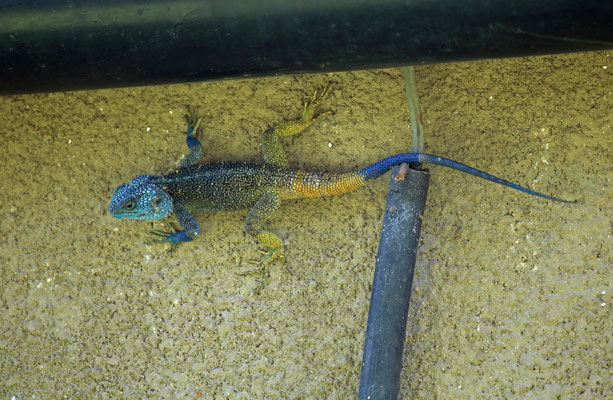 Blue-headed Tree Agama (Acanthocercus ugandaensis)