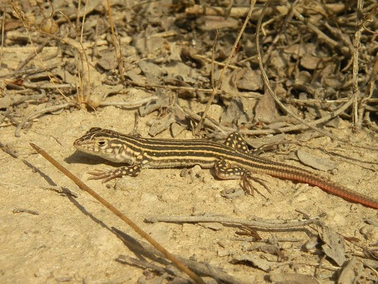 Spiny-footed Lizard (Acanthodactylus erythrurus) juvenile, Murcia, Spain, October 2011