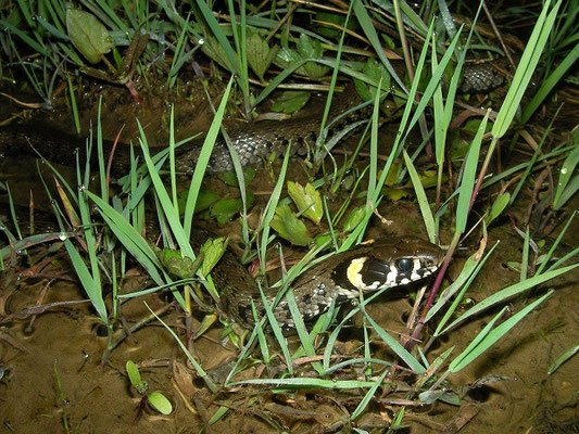Grass Snake (Natrix natrix scutata), Camlihemsin, Turkey, April 2015