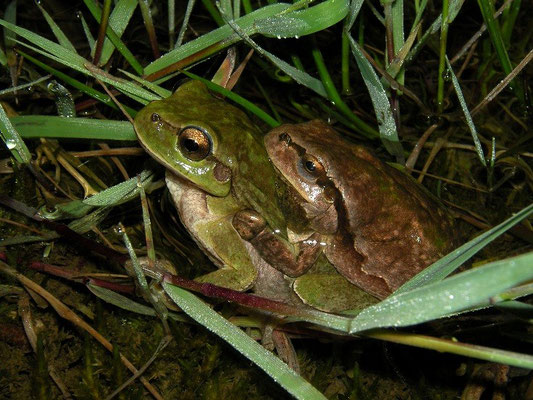 Cuddle in a puddle, Eastern Tree Frogs (Hyla orientalis) in amplexus