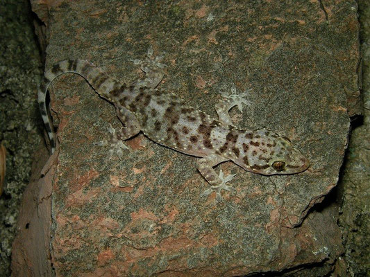 Turkish Gecko (Hemidactylus turcicus), Montenegro, July 2012