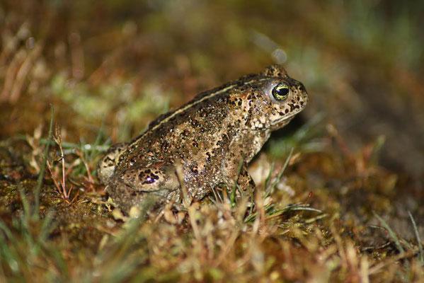 Natterjack Toad (Epidalea calamita) © Madeleine Wouda