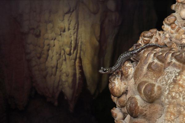 Scented Cave Salamander (Speleomantes imperialis)