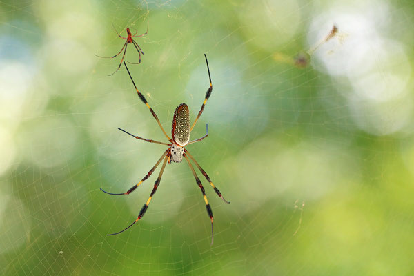Golden Orb-weavers (Nephila sp.) male and female