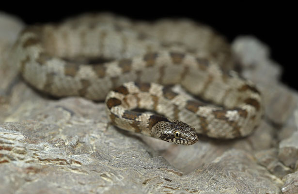 Cat Snake (Telescopus fallax)