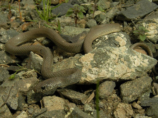 Dwarf Snake (Eirenis modestus), Erzurum, Turkey, May 2015