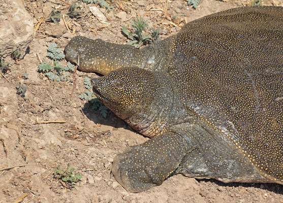 African Softshell Turtles (Trionyx triunguis) close-up