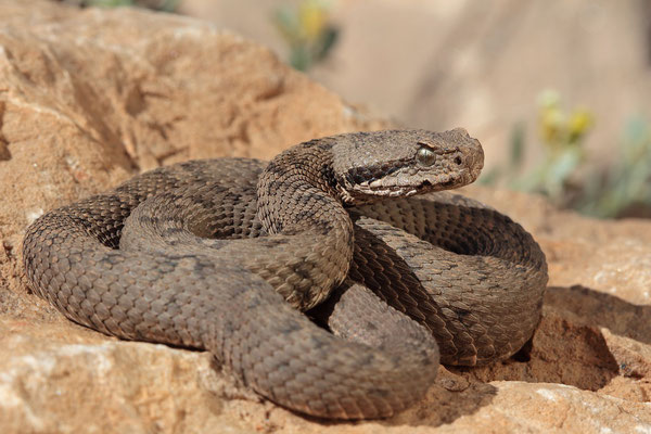 Lebanon Viper (Montivipera bornmuelleri)
