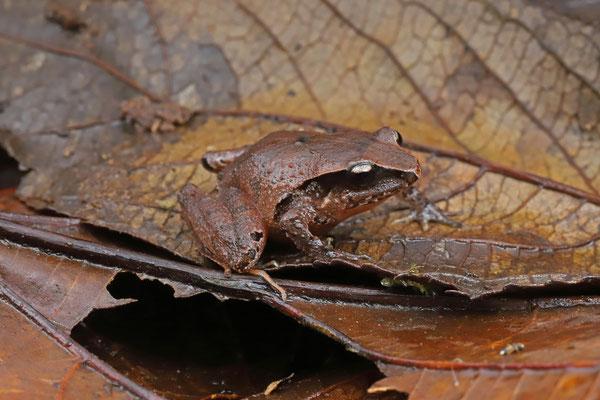 Enigmatic Litter Frog (Craugastor aenigmaticus)