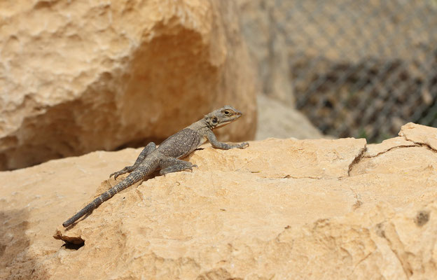 Yellow-headed Agama (Laudakia nupta)