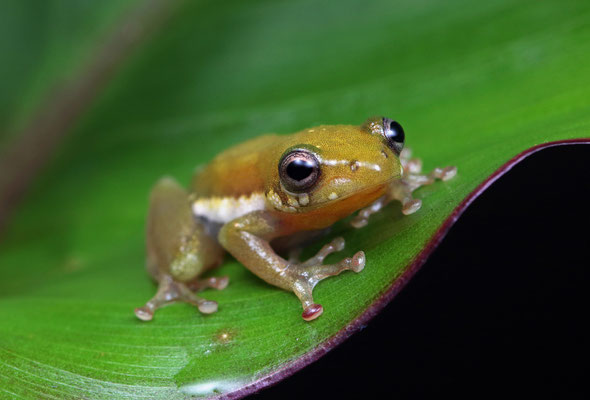 Side-striped Reed Frog (Hyperolius lateralis)