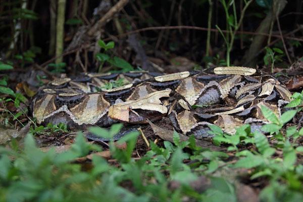 Gaboon Viper (Bitis gabonica)
