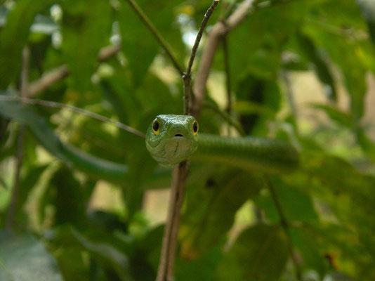 Angola Green Snake (Philothamnus angolensis)