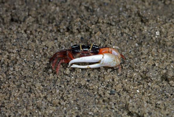 Fiddler Crab (Uca sp.)