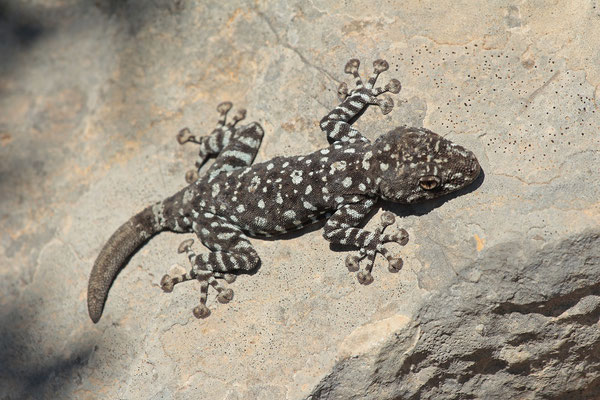 Israeli Fan-fingered Geckoes (Ptyodactylus muysexy)