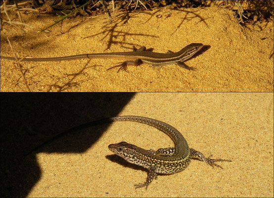 Boardwalk baskers: Algerian Psammodromus (Psammodromus algirus) juvenile & Carbonell's Wall Lizard (Podarcis carbonelli) male.