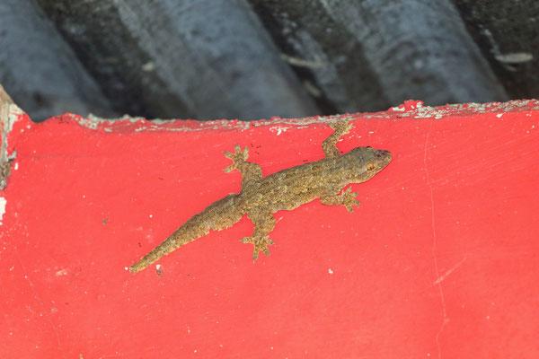 Flat-tailed House Gecko (Hemidactylus platyurus)