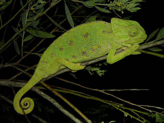 Mediterranean Chameleon (Chamaeleo chamaeleon) sleeping in the freezing night.