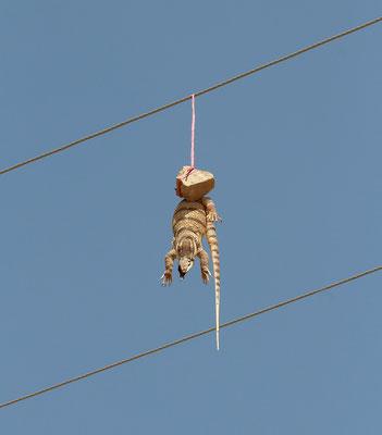 Desert Monitor (Varanus griseus)