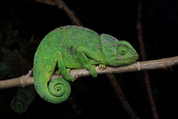 Mediterranean Chameleon (Chamaeleo chamaeleon) adult