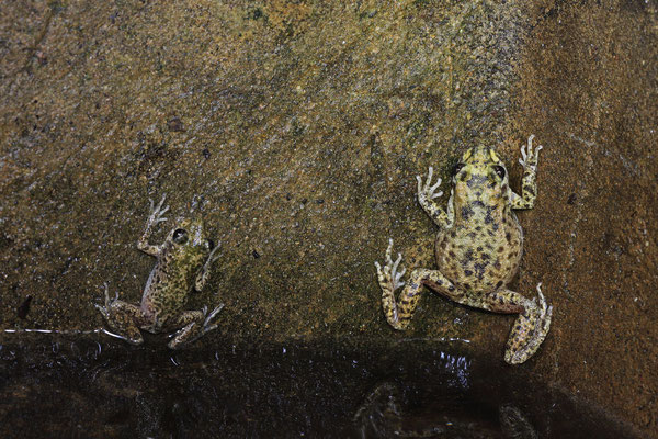 A pair of Majorcan Midwife Toads (Alytes muletensis) hanging at the walls at the edge of the basin.