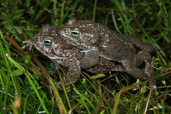 Natterjack Toads (Epidalea calamita) in amplexus