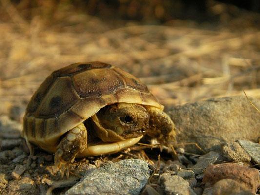 Spur-thighed Tortoise (Testudo graeca graeca), Murcia, Spain, October 2011