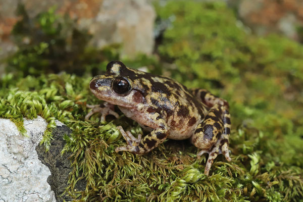 Majorcan Midwife Toad (Alytes muletensis)
