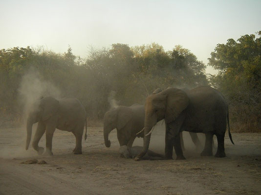 Dust bathing African Elephants (Loxodonta africana)