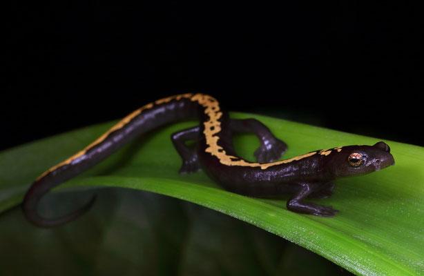 Müller's Mushroomtongue Salamander (Bolitoglossa mulleri)