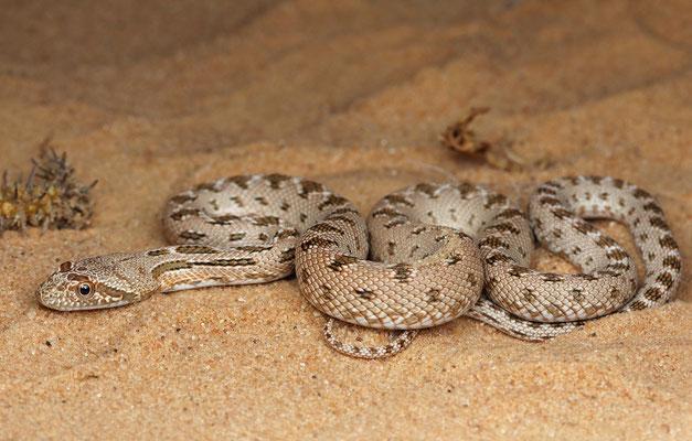 Diadem Snake (Spalerosophis diadema)