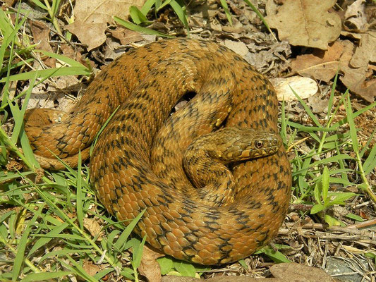 Viperine Snake (Natrix maura), La Brenne, France, June 2011