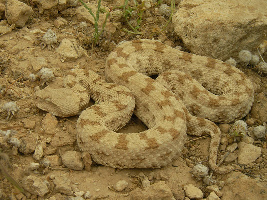 Persian Horned Viper (Pseudocerastes persicus)