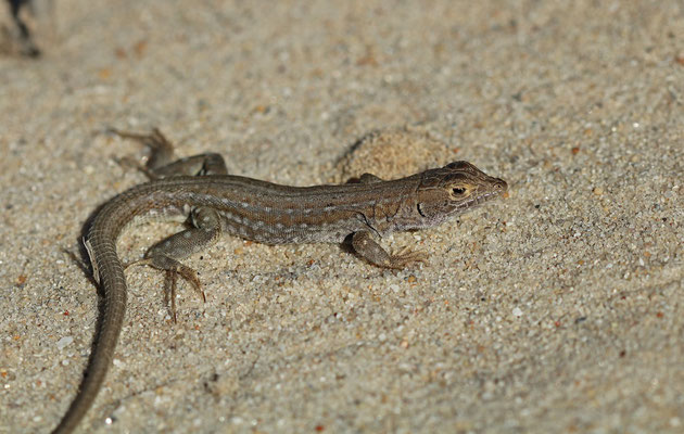 Knox's Desert Lizard (Meroles knoxii)